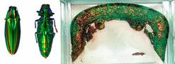 金冠塚でタマムシの羽の装飾発見