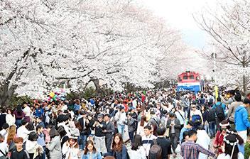 桜前線北上、ソウルも開花